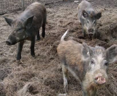 Wildschweinfleisch für den Hund ist bei gewissenhafter Bearbeitung für die Hundeernährung geeignet