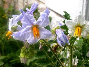 adaptogene Pflanzen-aus-ökologischem-Anbau-im- Ökogarten-in- der-Anwendung