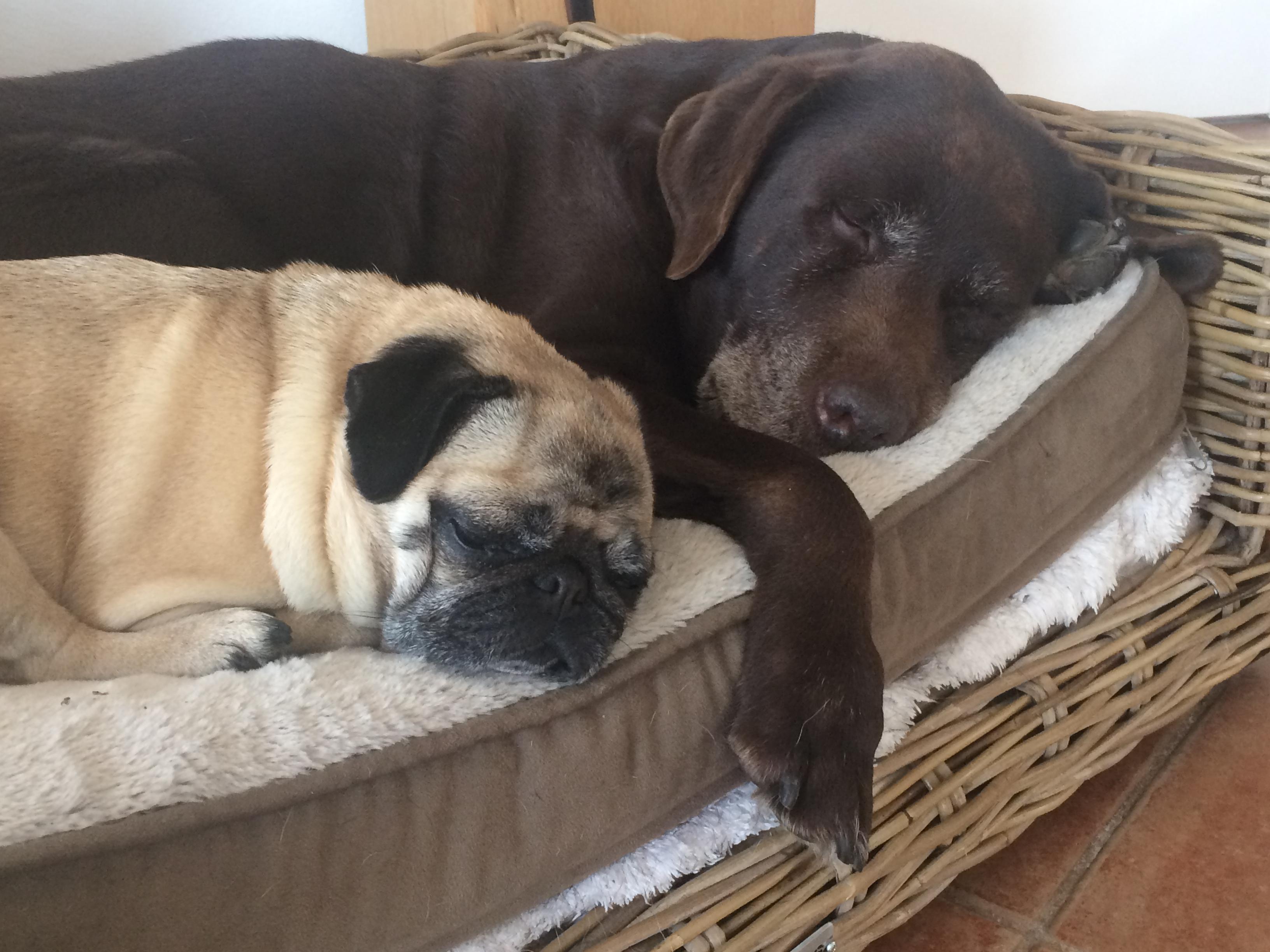 Keinen Maulgeruch-Mops und Labrador Nach Zahnpflege,Schlafen